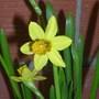 Narcisus