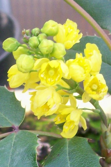Mahonia aquifolium (Mahonia aquifolium)