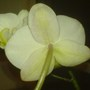 Phalaenopsis From A Different Angle  (Orchid)