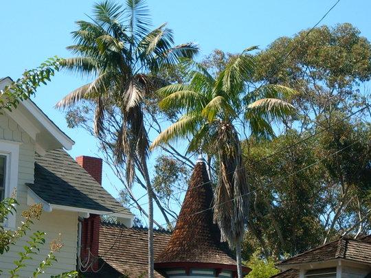 Very Old Howea fosteriana - Kentia Palms in Banker's Hill, San Diego, CA (Howea fosteriana - Kentia Palm)