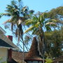 Very Old Howea fosteriana - Kentia Palms in Banker's Hill, San Diego, CA (Howea fosteriana - Kentia Palm)