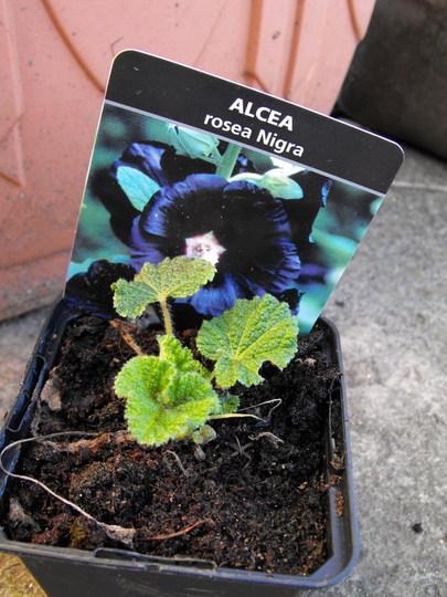 Black Hollyhock (Alcea rosea (Black Hollyhock))