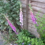 Foxgloves_down_the_fence_2