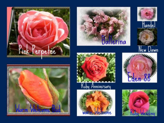 Some of my garden roses