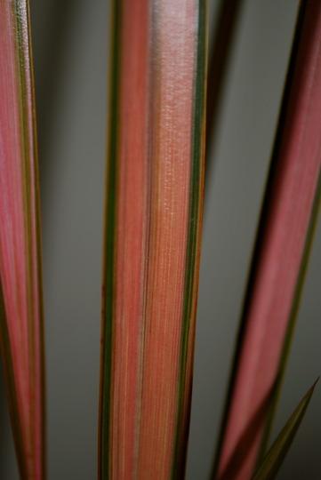 Phormium Pink Panther leaf.... (Phormium tenax (New Zealand flax) Pink Panther)