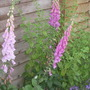 Foxgloves1