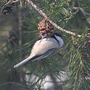 Pine Nuts...YUM! (Poecile atricapillus)