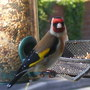 goldfinch_1.jpg