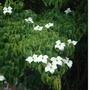 Cornus kousa Chinensis (Cornus kousa (Dogwood))