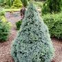 Picea_glauca_alberta_blue_