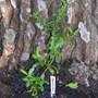 Pyrocantha