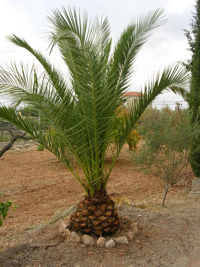 A garden flower photo (Phoenix canariensis (Canary Island date palm))