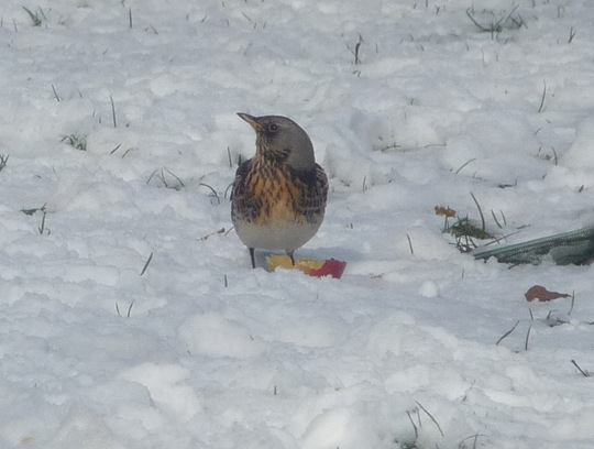 Fieldfare returns with snow ..