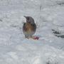 Fieldfare returns with snow ..