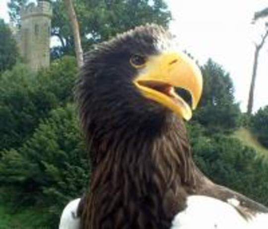 Steller_sea_eagle.jpg