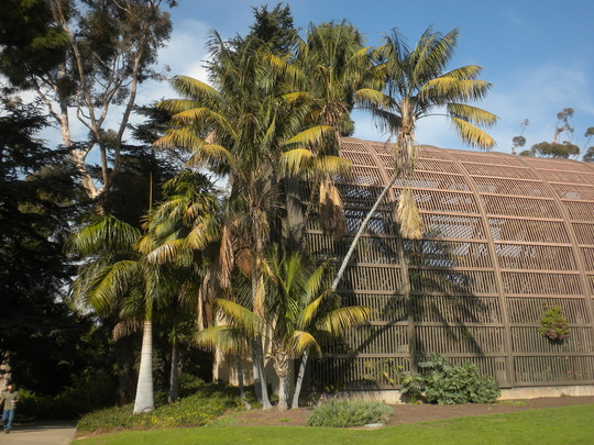 Howea fosteriana - Kentia Palms next to The Botanical Builidng in Balboa Park, San Diego, CA (Howea fosteriana - Kentia Palms)