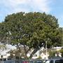 Ficus micocarpa or retusa - Indian Laurel Tree (Ficus micocarpa or retusa - Indian Laurel Tree)