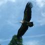 Vulture_in_flight