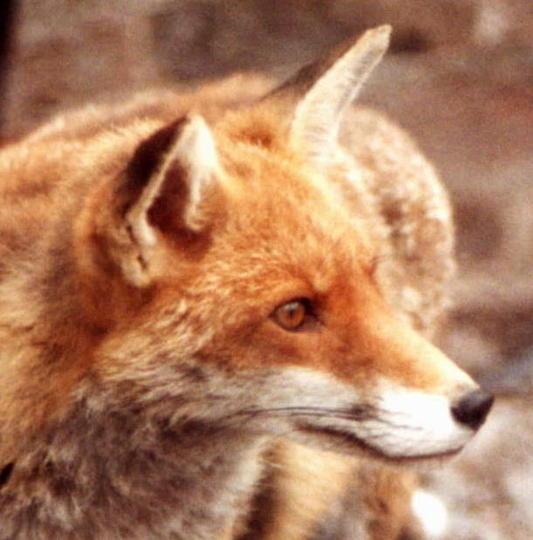 FOX IN THE YARD