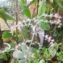 kalanchoe thrysifolia (kalanchoe thrysifolia)