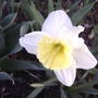 Daffodil (narcissus 'Ice Follies')