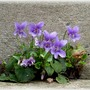 Common_dog_violet_viola_riviniana_