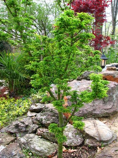 Japanese maple, lion's mane (Acer palmatum)