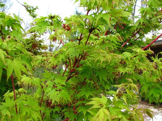 Coral bark maple