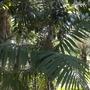 Chamaedorea tepejilote - Pacaya Palm in Balboa Park, San Diego, CA. (Chamaedorea tepejilote - Pacaya Palm)