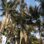 Looking up through the Howea fosteriana - Kentia Palms in Palm Canyon, Balboa Park, San Diego, CA. (Howea fosteriana - Kentia Palms)