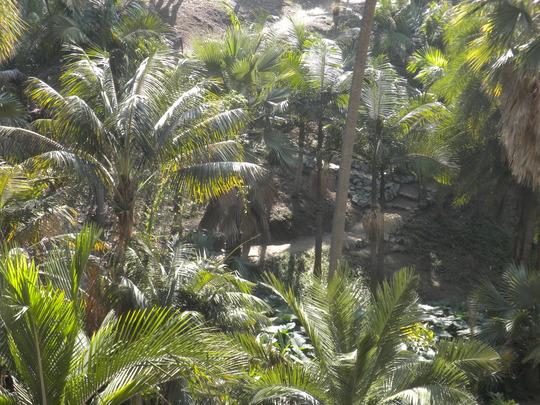 Palms in Palm Canyon, Balboa Park, San Diego, CA