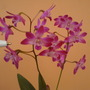 Dendrobium 'Berry Oda' (Orchid)