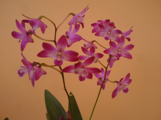 Dendrobium 'Winter Beauty' (Orchid)
