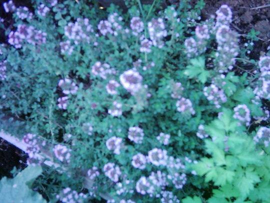 Culinary Thyme (Thymus vulgaris)
