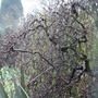 Corylus avellana contorta (Corylus avellana (Corkscrew hazel))