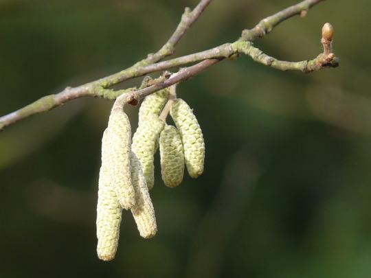 Hazel catkins (Corylopsis pauciflora (Winter hazel))