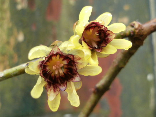Chimonanthus  .........