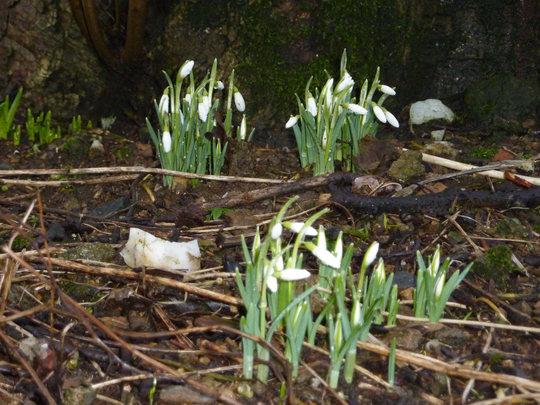 Snowdrops 2010 (Galanthus sp)