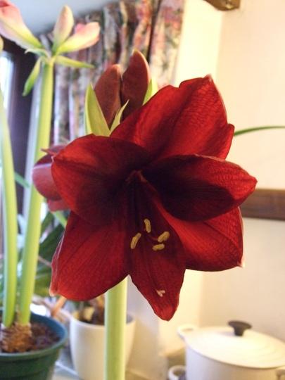 Amaryllis 'Black Pearl' (Hippeastrum)