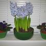 Blue Hyacinths (Hyacinth)