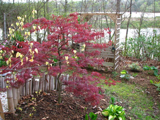 maple,  crimson queen (Acer Palmatum dissectum 'Crimson Queen')