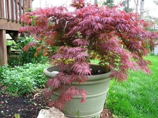 maple, orangeola (acer palmatum)