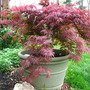 maple, orangeola (acer palmatum)