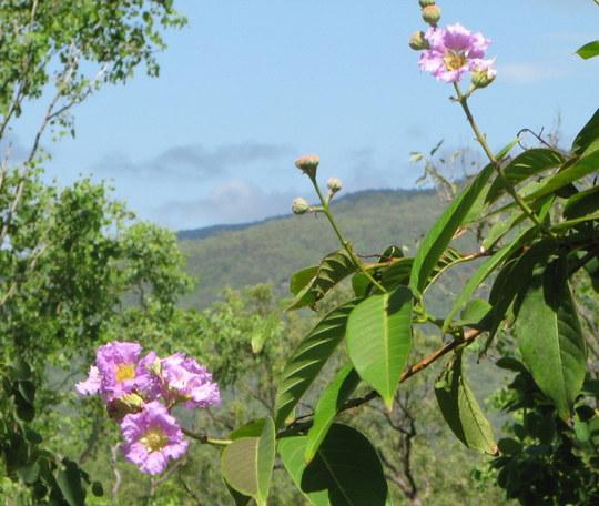 Summer downunder: Lagerstroemia speciosa - Crepe Myrtle - is blooming. (Lagerstroemia speciosa)