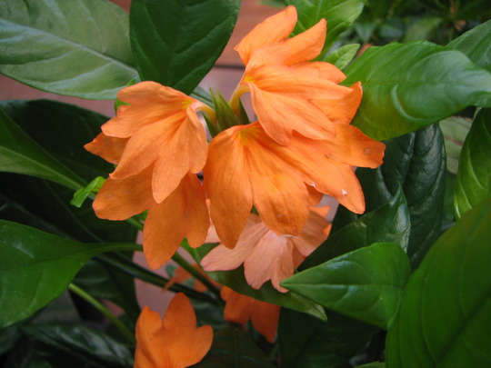 Summer downunder:  Crossandra is in flower.