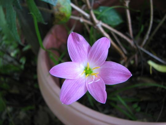 Summer downunder: Zephyranthes candida (Rain Lily) in flower. (Zephyranthes candida)