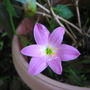Summer downunder: Zephyranthes candida (Rain Lily) in flower. (Zephyranthes candida)