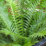 Summer downunder:  New frond on my Blechnum gibbum (Silver Lady Fern)