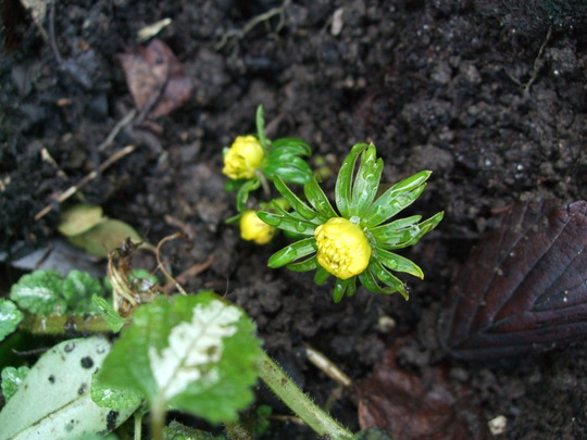 Little flower buds emerging. (Eranthis hyemalis (Winter aconite))