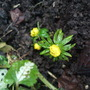 Little flower buds emerging. (Eranthis hyemalis (Winter aconite))